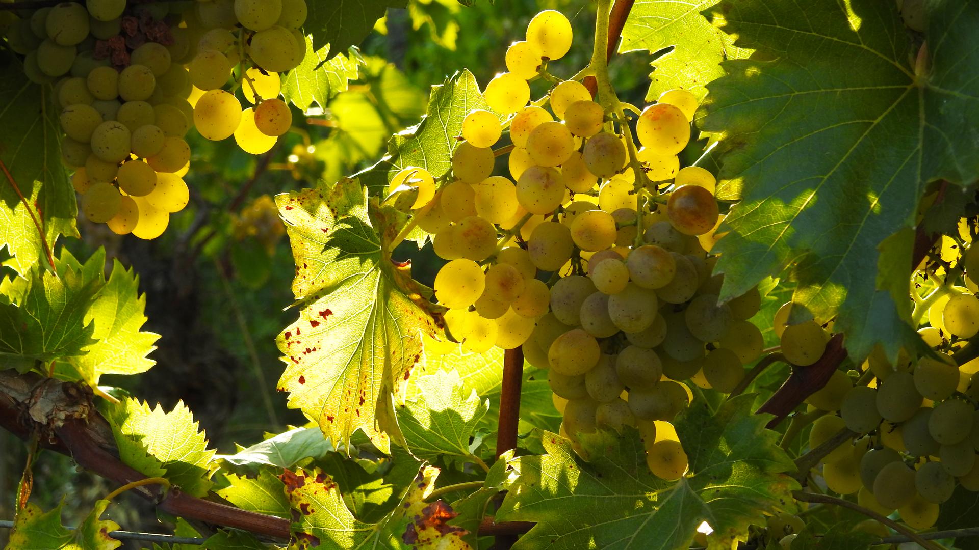 Grappolo d'uva - Enoteca Ovada e Monferrato