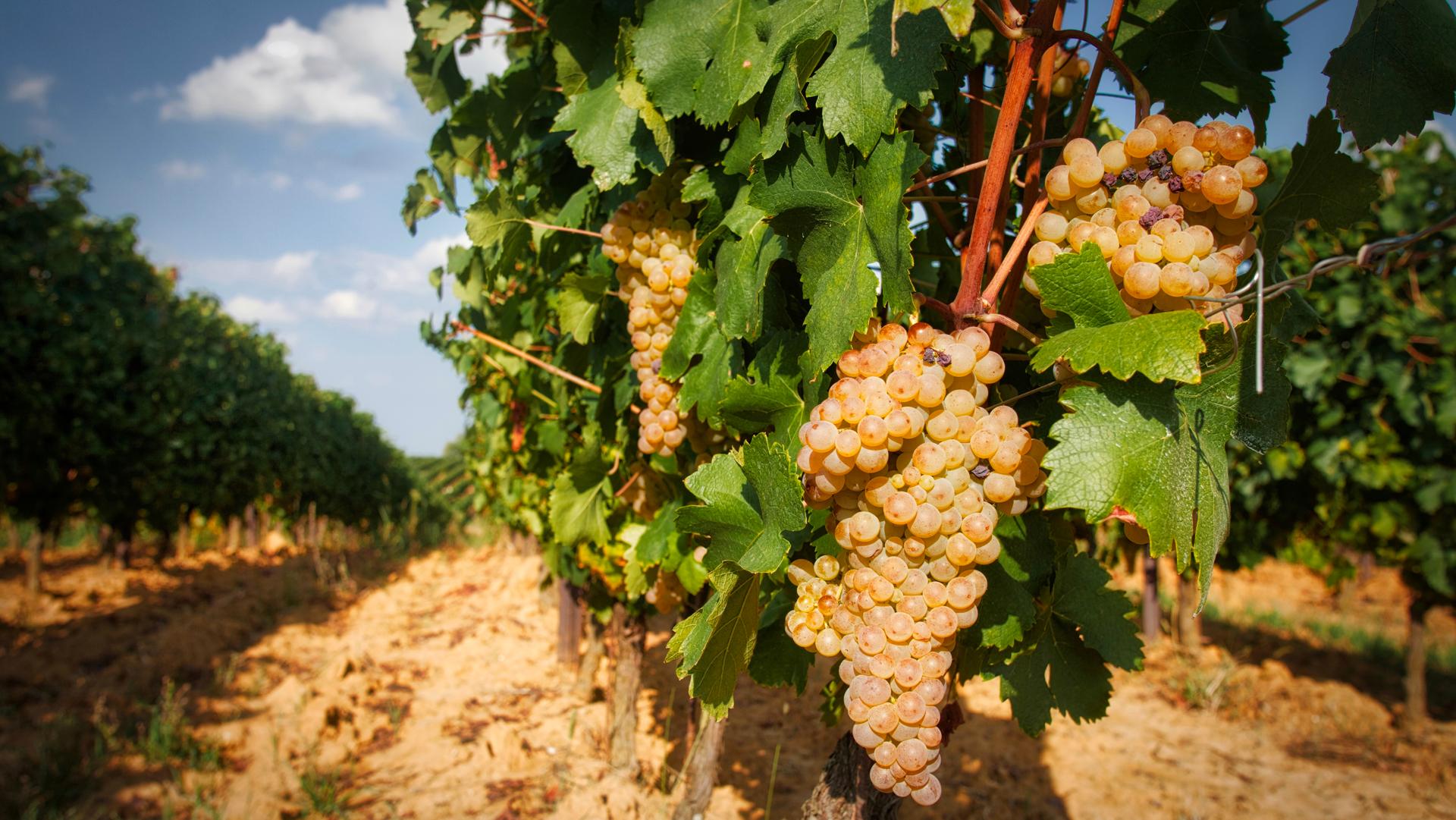 Vigneto e uva bianca - Enoteca Ovada e Monferrato